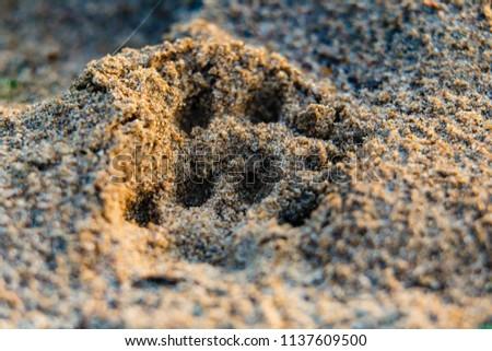 Animal footprint on sand close-up. At summer sunrise near the river #1137609500