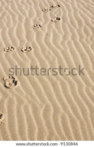 animal Footprint on the beach