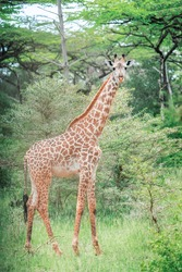 Animal full size portrait of south African giraffe mammal the tallest living terrestrial animal with extremely long neck and distinctive coat patterns standing and looking with big eyes. Vertical