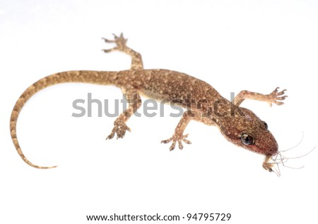 animal gecko eat mosquito bug isolated