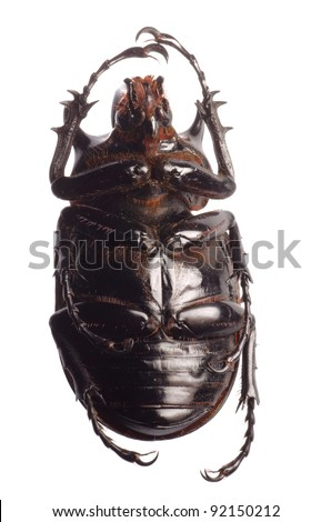 animal giant scarab rhino beetle isolated