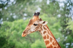 Animal head portrait of south African giraffe mammal the tallest living terrestrial animal with extremely long neck and distinctive coat patterns with sideward glance with big eyes. Horizontal image