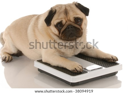 animal health - cute pug dog laying on weigh scales - stock photo