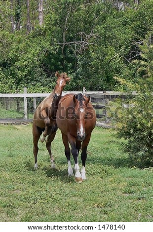 animal - horse - bay mare with foal playing