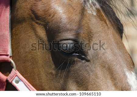 animal, horse , eyelashes , mane , horse , farm , Italy , light , brown , nature , eye , hair , reins