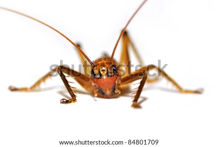 animal insect cricket