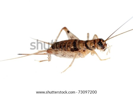 animal insect cricket isolated on white