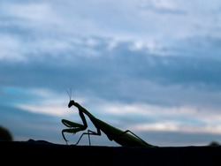 Animal insect green religious mantis is a family of arthropods. A flying insect is a green religious mantis. Canibalism in animals. Beetle insect outline. Cloudy evening sky. Nature. Background.