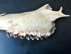 Animal jaw bone of dead Cow with large teeth isolated with black background. Mystical witch concept.