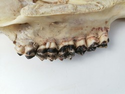 Animal jaw bone of dead Cow with large teeth isolated with white background. Mystical witch concept.