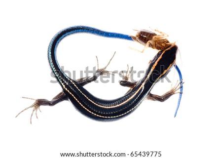 animal lizard eat roach bug - stock photo
