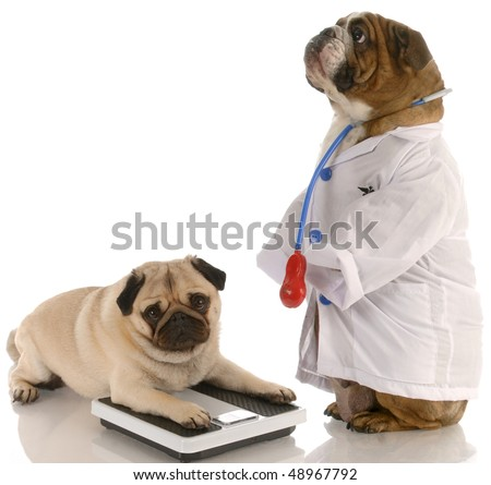 animal obesity - bulldog dressed up as doctor standing beside pug laying down on weigh scales - stock photo