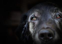 Animal - Old dog. labrador retriever macro shot.