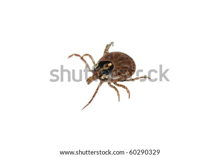 animal parasite tick isolated on white