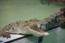 Animal photo, image of young crocodiles sunbathing in croc farm, crocodylus porosus