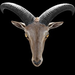Animal Portrait - Barbary sheep head  isolated on black -  idea for scary picture like angels of death from hell with yellow eyes