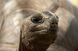 Animal portrait of a giant tortoise. La Digue island, Seychelles