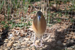 Animal portrait of a light brown bird with black stripes on its head - Squacco heron. Ardeola ralloides living in southern Europe. Rough look.