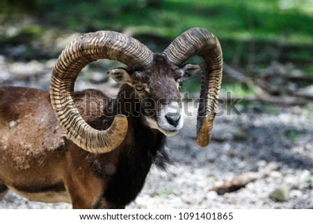 Animal portrait of mouflon or wild goat with big curvy horns.