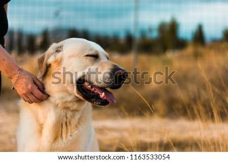 Animal portrait of one brown labrador dog #1163533054