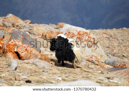 Animal scene of Yak walking on snow mountain. Yak is a long-haired domesticated bovid found throughout the Himalayan region of the Indian , the Tibetan Plateau at Leh ladakh India #1370780432