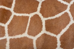 Animal skin background of the patterned fur texture on an African giraffe