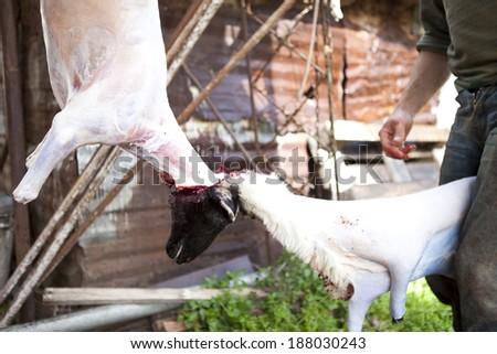 Animal skinning, lamb sheep