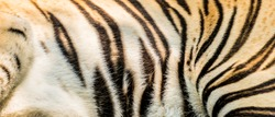 Animal skins texture of Tiger