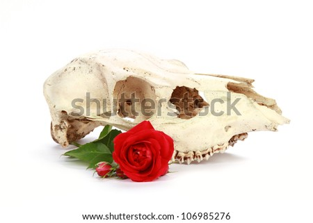 Animal skull isolated isolated on white