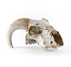 Animal skull isolated on white