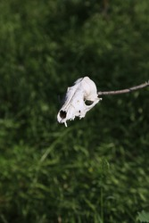 animal skull on a branch - soft local focus, blurred background