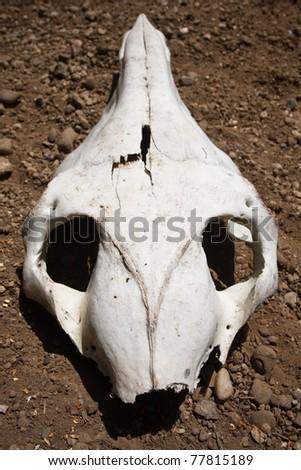 animal skull on the ground