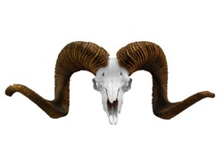 animal skull with big horn isolated