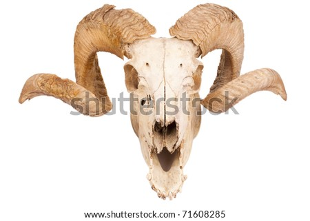Animal skull with big horn isolated isolated on white