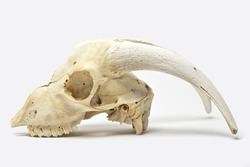Animal skull with big horns on gray background with natural shadow