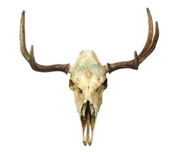 Animal Skull (with clipping path)