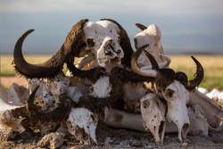 animal skulls,buy animal skull,types of animal skulls,animal skulls photo,skull pets,bones of the skull of an animal,Pictures animal skulls,Skull different animals,animal skulls for sale
