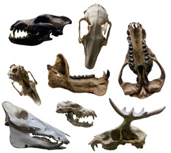 Animal skulls - isolated on white background