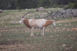 Animal standing exact opposite position with horn making the complete curve