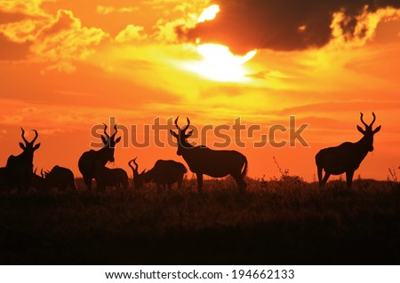 Animal Sunset of Gold - Wildlife Background from Africa - Red Hartebeest Herd of Color
