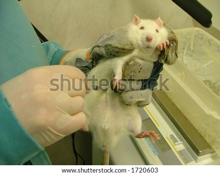 animal testing (white lab rat) - stock photo