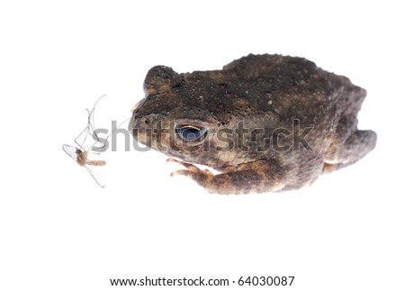 animal toad look at mosquito bug isolated on white