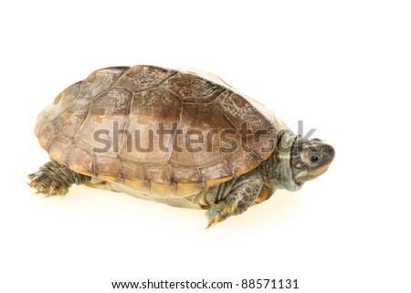 animal turtle tortoise isolated in white background