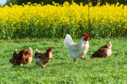 Animal welfare in Schleswig-Holstein. Free-range chickens in a meadow in Moorsee near Kiel