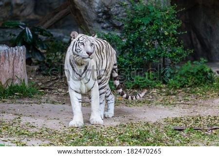 Animal: White Tiger walking #182470265