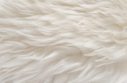 Animal white wool texture, beige fluffy fur background, light natural hair, close-up