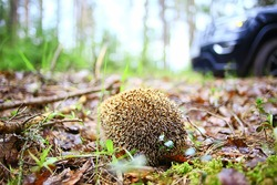 animal wild in nature hedgehog in the forest, european hedgehog runs