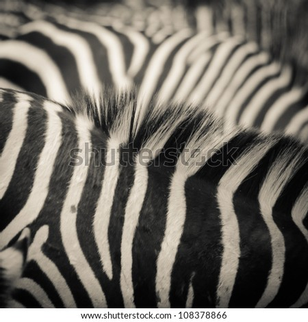 animal zebra black and white pattern texture - stock photo