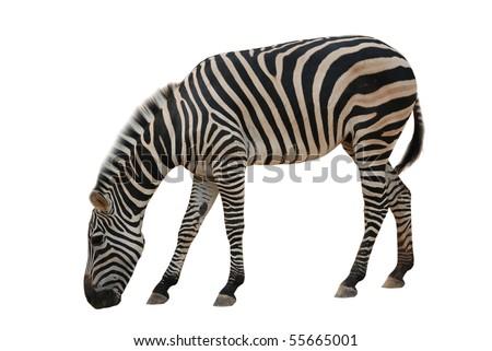 animal zebra isolated on white background