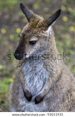 Animals and birds of Australia. Wallaby